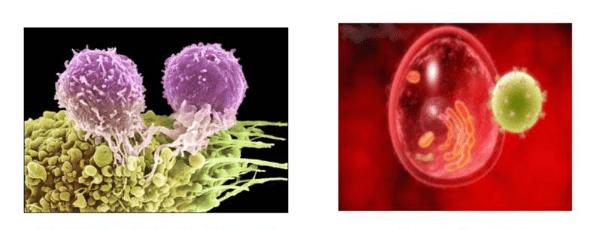 клетки крови, лимфоциты