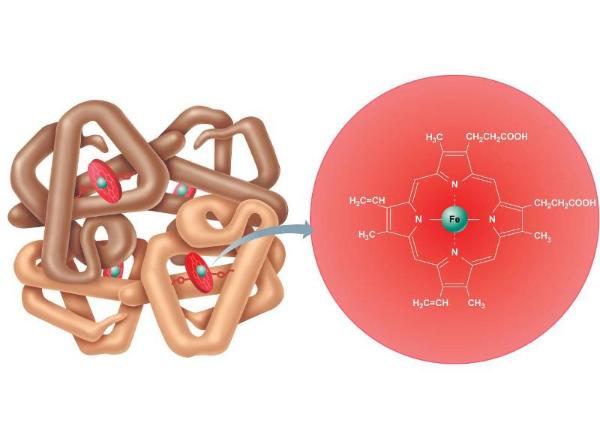 гемоглобин, структура