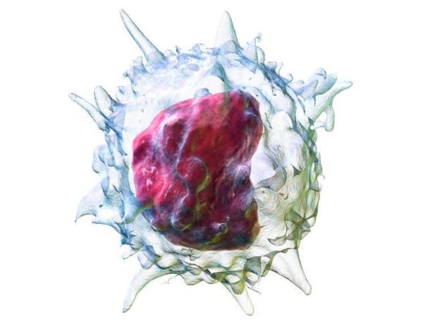 моноцит, клетка