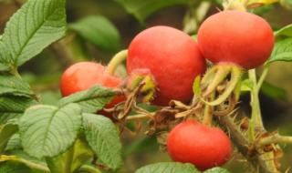 ягоды шиповника на кусте