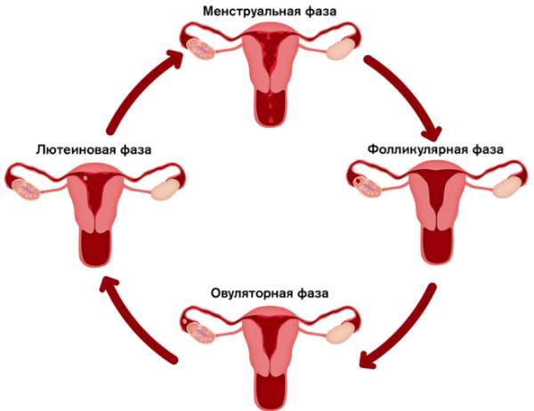 цикл менструальный