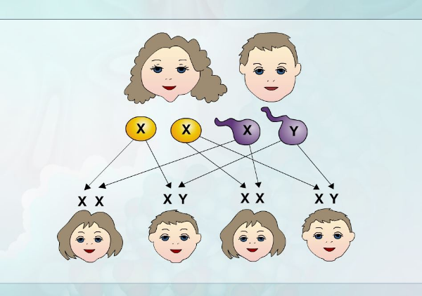 зависимость пола ребенка от набора хромосом