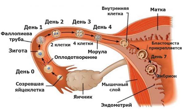 этапы зачатия
