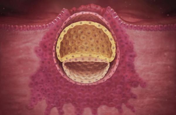 яйцеклетка в матке