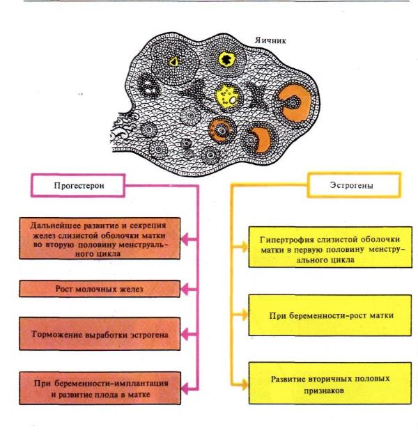 прогестерон и эстроген