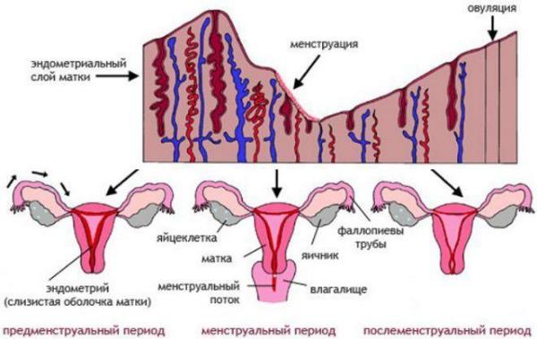 эндометрий картинка