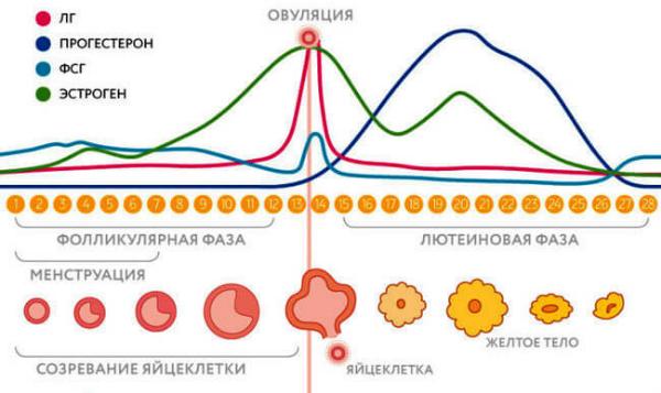 цикл с овуляцией