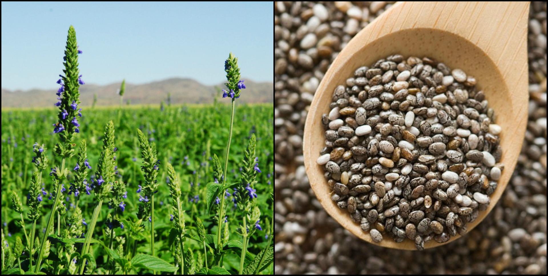 шалфей и семена