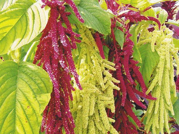 цветы амаранта