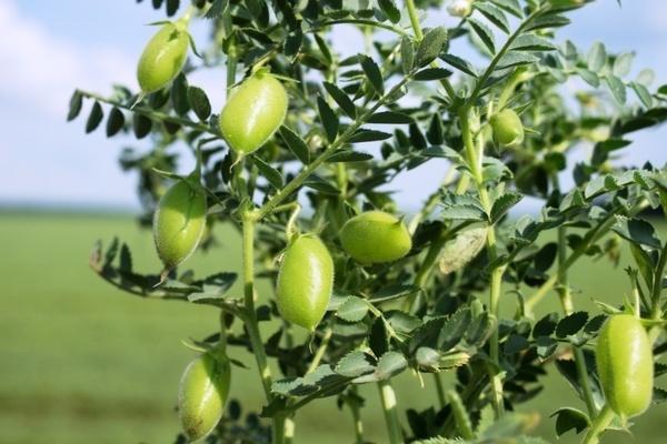 фото растения